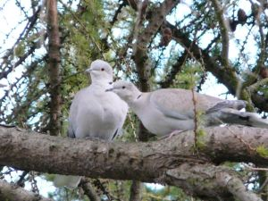 Two Doves Together Photo