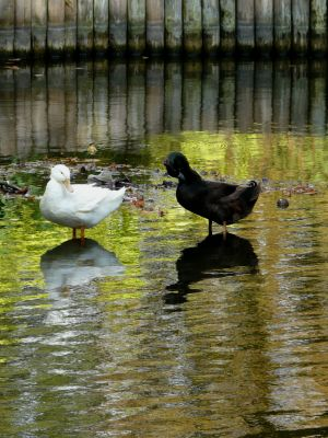 Two Ducks on Water Image