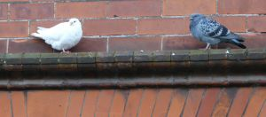 Two Pigeons on a Ledge Picture