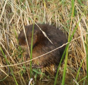 Water Vole Photograph