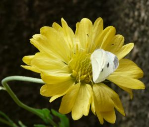Cabbage White Butterfly on Flower Photo