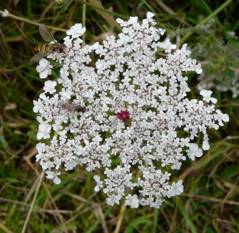 Click Photo for full size version of White Wild Flower at Gibraltar Point Nature Reserve