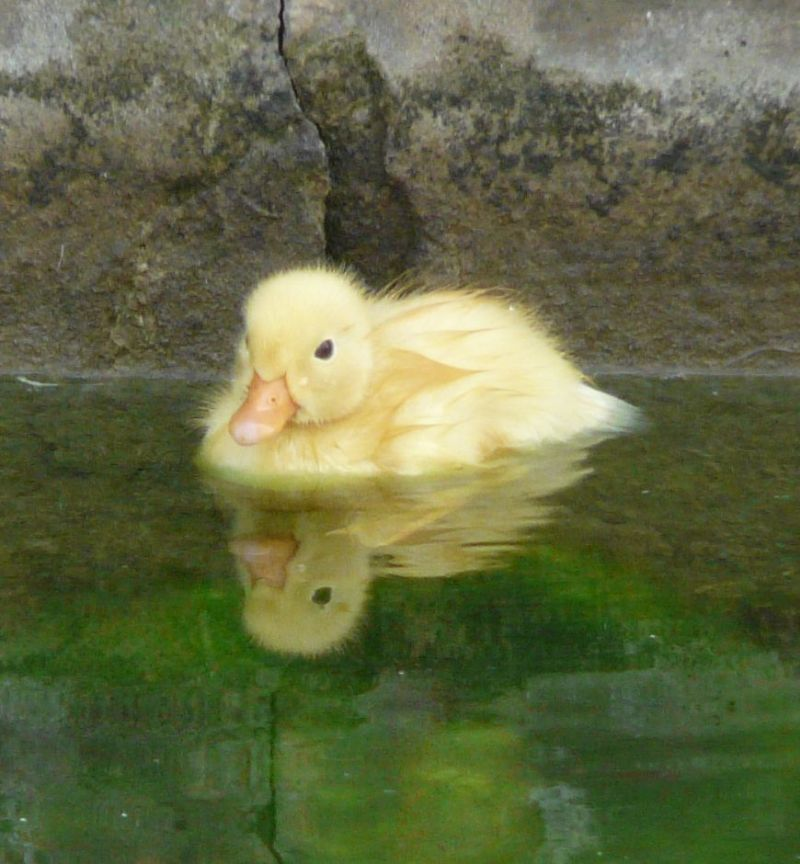 Yellow ducklings breed - photo#27