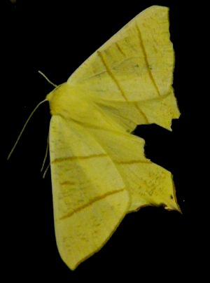 Yellow Swallow Tailed Moth Photo