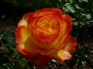 Yellow and Orange Rose Photograph