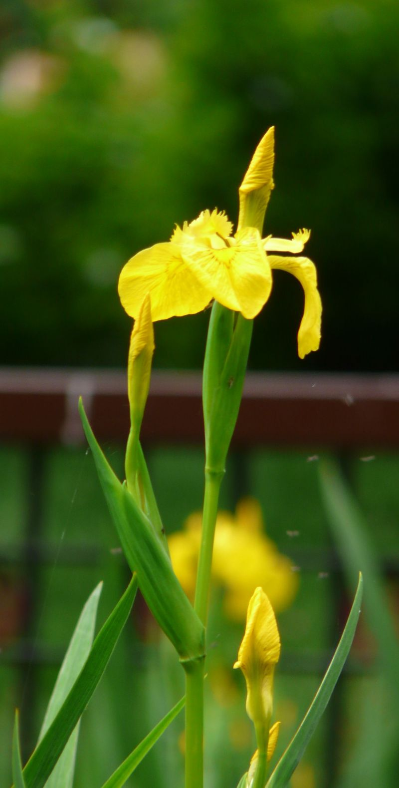Yellow Reed Flower Image
