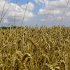 Mature Wheat Heads in August Photograph
