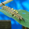 Vapourer Moth Caterpillar Photograph